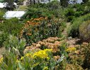 A mixture of re-generated and planted Fynbos elements
